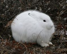 FUN TO BE BAD: Arctic ice melt is like adding 20 years of emissions Arctic Hare, Arctic Animals, Cute Animals, Wild Animals, Funny Bunnies, Cute Bunny, Snowshoe Hare, Natural Pillows, Fuzzy Wuzzy
