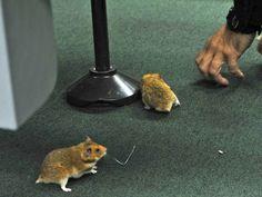 Ratos são soltos no plenário da CPI da Petrobras antes da sessão que ouve João Vaccari Neto, tesoureiro do PT (Foto: Luis Macedo/Câmara dos Deputados)