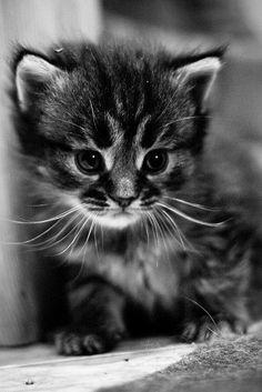 Animalgazing: Hunty Kitten By Mourner On Flickr.