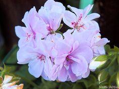 hellrosa Geranienblüte