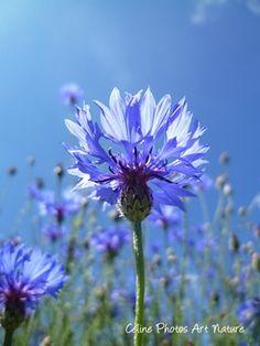#Bleuet été 2013 par Céline Photos Art Nature #fleurs