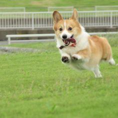 corgis can fly!