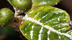 Pest infestation is every gardener's nightmare. These great tips on How to Get Rid of Mealybugs will come in great handy. Garden Plants, Indoor Plants, Green Warriors, Outside Plants, Insect Pest, Ornamental Plants, Permaculture, Horticulture, Houseplants