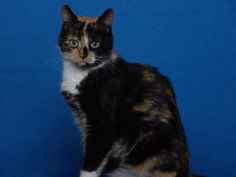 Nala is an adoptable Calico Cat in Indianapolis, IN. This stunning beauty is Nala. She is a pretty calico with great markings. Nala likes to be pet and loved. She is full of fun and affection. Nala wi...