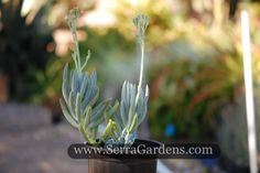 Senecio mandraliscae, also known as blue chalk sticks, is a fast-growing, extremely fire-resistant groundcover known for its beautiful blue color.  Succulents, unlike native chaparral plants, are 80 percent water making them truly fire-resistant. Serra Gardens  recommends planting Senecio mandraliscae groundcover around and along fire-zone perimeters. https://shop.cacti.com/landscape-succulents/senecio-mandraliscae/ #SerraGardens