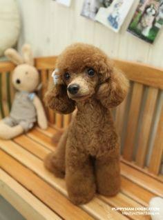 Toy poodle cut