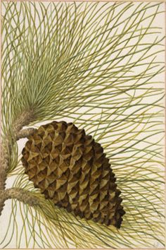 8 Dec: 'Pine' by Jacques Le Moyne should inspire you to put a tree up. From the British Museum Advent Calendar