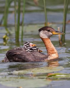 Red-necked Grebe (Podiceps grisegena) is a migratory aquatic bird found in the temperate regions of the northern hemisphere.