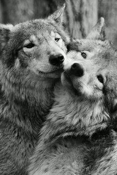 Romanian Wolves