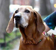 Redbone Hound Puppies | Redbone Coonhound~LOVE~