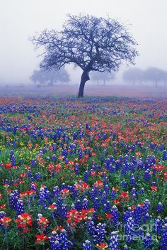 ✯ Texas Flowers - Blue Bonnets and Indian Paintbrushes. They are just beautiful in the Texas Hill Country. Flower Carpet, Beautiful World, Beautiful Places, Indian Paintbrush, Texas Bluebonnets, Loving Texas, Texas Hill Country, Blue Bonnets, Vacation Places