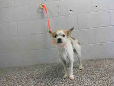 This DOG-ID#A468940  I am an unaltered male, white and brown Terrier. Shelter staff think I am about 1 year old. I have been at the shelter since Jul 10, 2014.  For more information about the adoption process, click here: Animal Control. Note that the last adoption will start at 4:30 pm.