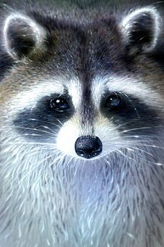 My mom used to have a pet raccoon.and she was the only one that it would let touch it. Raccoon Drawing, Raccoon Art, Cute Raccoon, Racoon, Nature Animals, Animals And Pets, Cute Animals, Strange Animals, Wild Animals
