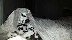 Tired Dalmatian
