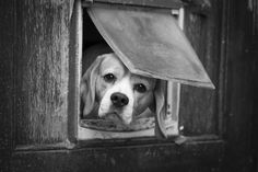 """Who goes there?  Yea...isn't that sad!!!!  That is where this poor beagle lives.  Yea...I am sure that is what this beagle says...""""Who goes there why does nobody pay attention to me"""""""