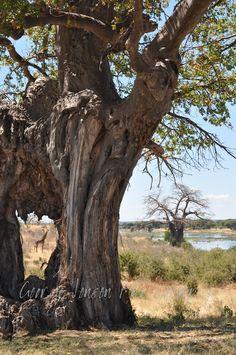 Balboa trees COVER Ruaha National Park in TZ.