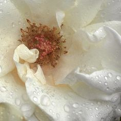 One of my roses after the rain.