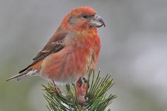 A male Parrot Crossbill (Loxia pytyopsittacus)  (Loxia pytyopsittacus). It is primarily  found in the pine forests of Scotland and Scandinavia. It is endemic to Europe and similar to the Scottish Crossbill.
