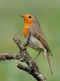 Robin #bird #nature #animal