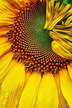 New flowers photography sunflowers sunflower fields Ideas Happy Flowers, Beautiful Flowers, Sun Flowers, Wedding Flowers, Art Aquarelle, Sunflower Fields, Sunflower Flower, Yellow Sunflower, Summer Rain