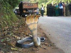 3-headed snake. India.