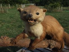 Taxidermy Fouine // Mink Taxidermy // pine Martin Taxidermy // Vintage Taxidermy - pinned by pin4etsy.com
