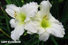 Hemerocallis 'Lady Elizabeth' Diamond-dusted white blooms. It is stunning either en masse or as a focal accent plant. Bright near-white 5 - 5.5 inch Bbooms on 18 - 24 inches tall Scapes       Arching, bright green 14-20 inches tall deciduous foliage       Blooms 30-110 days per year        Good rust resistance        Stunning as a mass planting, front border or accent plant        All-American winner