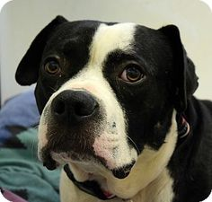 Pontiac, MI - Boxer/Pit Bull Terrier Mix. Meet Bruno, a dog for adoption. http://www.adoptapet.com/pet/16895193-pontiac-michigan-boxer-mix