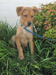 Shelby - 3 month old, spayed female, lab/husky mix, ID#071913G