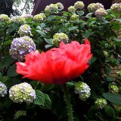 Cvjetno šarenilo mog vrta (13)