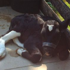 Baby cow Baby Cows, Farm Life, Calves, Cute Animals, Horses, Passion, Country, Heart, Pretty Animals