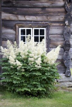 Astilbe or false goat's beard. Can tolerate clay. Adapted to shade/water-logged conditions.