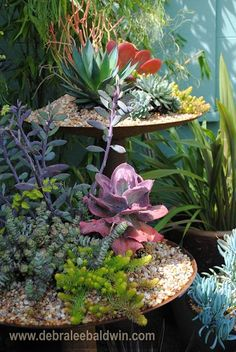 Purple-stemmed Senecio jacobsenii and other succulents grow in disks salvaged from a tractor plow. Pebbles conceal soil and root-balls. From Succulents Simplified, the new book by Debra lee Baldwin.  #SucculentsSimplified