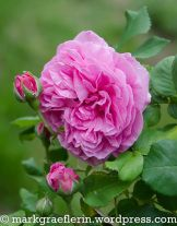 Mai, Wordpress, Roses, Flowers, Plants, Watering Plants, Lawn And Garden, Pink, Rose