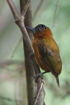 El carpinterito ventrirrufo (Picumnus rufiventris), es una especie de ave piciforme, perteneciente a la familia Picidae, subfamilia Picumninae, del género Picumnus. Subespecies: Picumnus rufiventris brunneifrons (Stager, 1968) Picumnus rufiventris grandis (Carriker, 1930) Picumnus rufiventris rufiventris (Bonaparte, 1838) Es una especie de ave que se encuentra localizada en Bolivia, Brasil, Colombia, Ecuador y Perú.