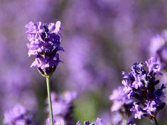 Lavanda nel mio giardino by Kristel Van Loock, via Flickr    Lavanda Amore!    Lavender Lavender Lavender