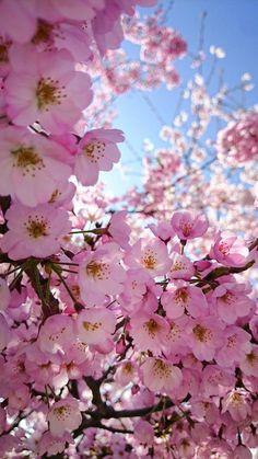 it's finally springtime…🌸🌸🌸 bring on … Cherry Blossom Wallpaper, Cherry Blossom Tree, Blossom Trees, Blossom Flower, Spring Blossom, Beautiful Flowers Wallpapers, Beautiful Nature Wallpaper, Pretty Wallpapers, Frühling Wallpaper
