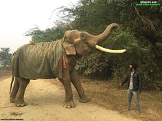 #UpdateOnSurajElephant While out for his walk, we caught our handsome pachyderm Suraj share a light moment with his keeper, Rajesh. The calmest & kindest of the bull eles in our care, Suraj's diet is additionally supplemented with minerals & vitamins as prescribed by the doctors along with a bolus of cooked horse-gram with generous servings of yummy sweet & sticky jaggery, which helps him withstand the chilly weather. Stay tuned for a video coming your way soon!