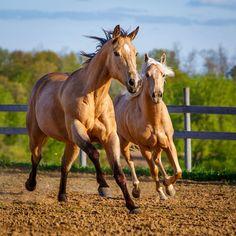 Daily Dose - May 27, 2015 - Color Mares - Buckskin and Palomino Quarter Horses  2015©Barbara O'Brien Photography