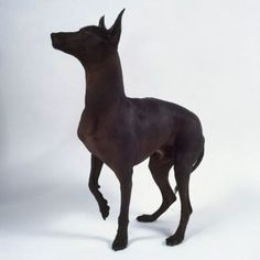 Xoloitzcuintli Like the hairless cat, a hairless dog like the Xoloitzcuintli will still produce skin dander. (It also comes in a coated version.) Like the poodle and schnauzer, this ancient breed comes in three sizes—toy, miniature, and standard. Mexican Hairless Dog, 15 Dogs, What Kind Of Dog, Different Dogs, Kinds Of Dogs, Dog Show, Love Pet, Cute Baby Animals, Pretty Animals