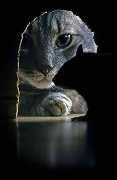 Funniest Animal Pictures : Professional pet photography: 40 wonderful and cute pictures of photogenic cats Crazy Cat Lady, Crazy Cats, I Love Cats, Cool Cats, Beautiful Cats, Animals Beautiful, Funny Animals, Cute Animals, Wild Animals