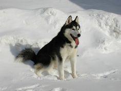Siberian Husky - heute beschäftigen wir uns ein bisschen näher mit ihm