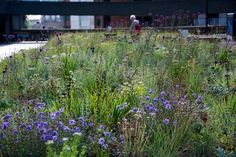 Some photos from my plantings at The Barbican, end of August 2015
