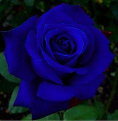 Rose Royal Blue