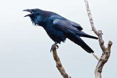 IMAGE: http://fc02.deviantart.net/fs70/i/2013/288/5/9/perched_raven_by_bovey_photo-d6q8y0f.jpg