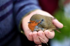 young lad does his best to warm up a cold robin. Cute Birds, Small Birds, Little Birds, Beautiful Winter Pictures, Robin Photos, Animals And Pets, Cute Animals, Fat Bird, European Robin