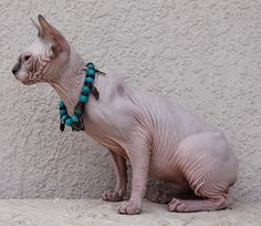 Sphynx kittens for sale, NADA Sphynx, Devon Rex, Lykoi, Cats sphynx, sphinx, esfinge, sphynx cats for sale, hairless cats for sale, sphynx kittens, sphynx breeders, sphynx for sale, sphynx kittens for sale, sphynx cat breeders, hairless cat breeders, hairless cat adoption, sphynx cat adoption, buy hairless cat, sphynx Florida, sphynx ontario, canadian sphynx, curly coated, werewolf Spring Hill, FL Sphynx Boys