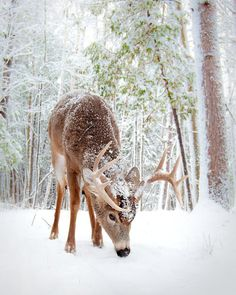 deer in snow | We Heart It