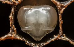 Birth of a Bee - BY ANAND VARMA - NatGeo