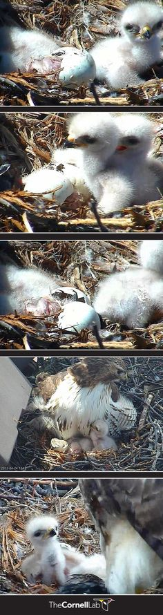 Eggs often hatch on different days, usually 2-3 days apart. In 2013, the first two hawks hatched on the same day and the third came two days later. The nestlings may rely on their parents for many months. Parents provide food but also warmth and shelter. | Watch the Cornell Lab bird cams LIVE here: http://cams.allaboutbirds.org/